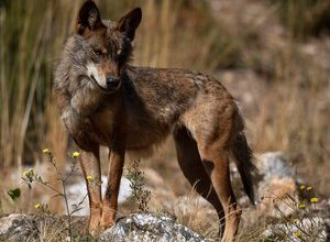 Photo of Spain: wolf hunting now banned throughout the country