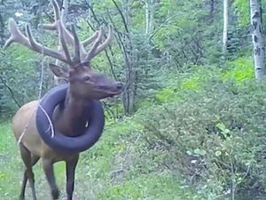 united-states:-elk-had-lived-with-a-tire-stuck-around-its-neck-for-two-years