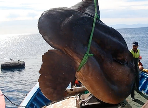 Photo of VIDEO.  A huge sunfish weighing more than a ton caught in the Mediterranean