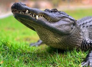 Photo of VIDEO.  United States: US Army veteran captures alligator with … trash can